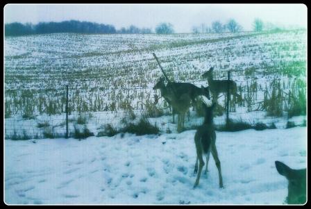 Straub Farm - Winter Deer